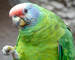Amazona_brasiliensis-wikimedia-org