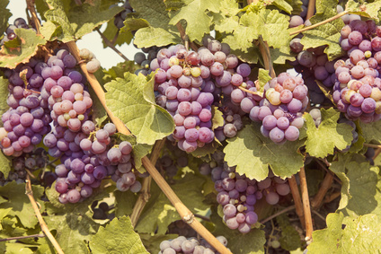 Bunch of red grapes on the vine