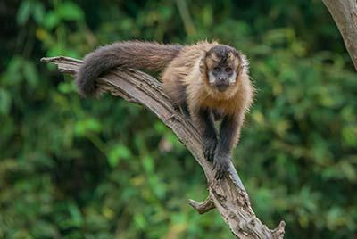 macaco prego_0131