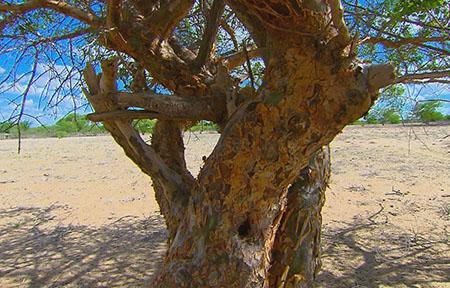 Baum Caatinga