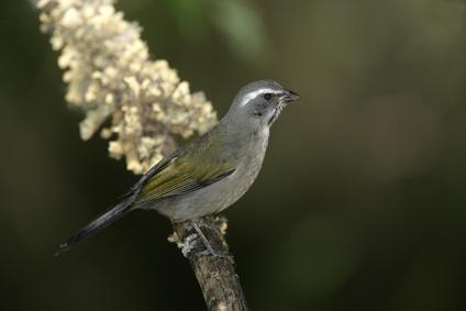 Green-winged saltator (Saltator similis) - Foto: Erni/Fotolia.com