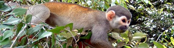 Header_Macaco de cheiro