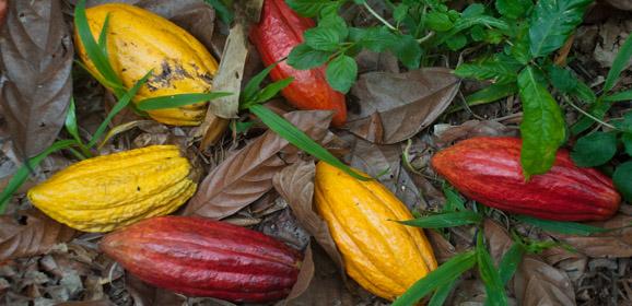 kakao bohnen am boden